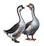 Постоянная ссылка на Разведение гусей в домашних условиях. разведение гусей в домашних условиях.